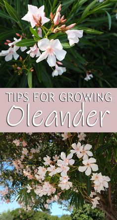 Tips For Growing Oleander! Oleander (Nerium oleander) is an ornamental shrub with attractive characteristics from flower to stems.The plant is an erect evergreen shrub with lovely flower clusters of pink flowers. Each flower has 5 spreading petals.