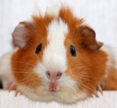 Floor time with your guinea pigs
