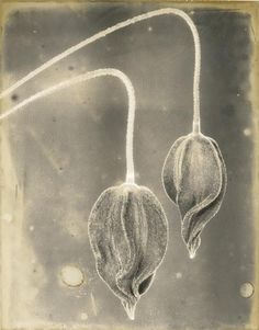 Ron van Dongen - Untitled, Epson Ultrachrome pigment print on Hahnemuhle paper 20 x 16 in Fine Arts Major, Fine Art Photography, Monochrome Photography, Vintage Photography, White Photography, Ron, Plant Illustration, Seed Pods, Herbs