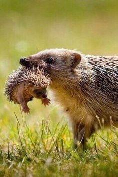 Super Cute Animals, Cute Baby Animals, Funny Animals, Nature Animals, Animals And Pets, Beautiful Creatures, Animals Beautiful, British Wildlife, Cute Hedgehog