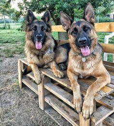 GSDs-Joey & Guilia