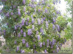 סופורה אמריקאית Sophora secundiflora