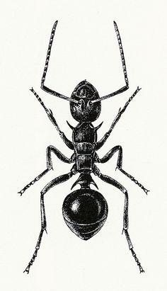 Ant Illustration 1 by sarcoptiform, via Flickr