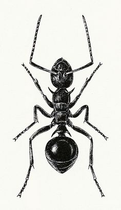 Ant Illustration 1 by sarcoptiform, via Flickr
