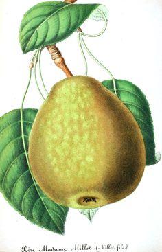 Botanical - Fruit - Pear, green