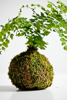 Love the idea of moss-covered container for bouquet! - A lovely form of Japanese Bonsai. Soak for 15 minutes once a week. Maiden hair fern is used unless otherwise requested. love this idea Moss Garden, Garden Plants, Beautiful Flower Arrangements, Beautiful Flowers, Floral Arrangement, Garden Landscape Design, Garden Landscaping, Indoor Garden, Indoor Plants