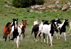 American Mustang paint band at Wild Horse Sanctuary, Black Hills of South Dakota. All The Pretty Horses, Beautiful Horses, Animals Beautiful, Adorable Animals, Simply Beautiful, American Paint Horse, Types Of Horses, Painted Pony, Horse World