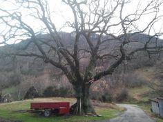 La quercia secolare.