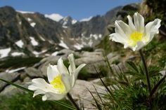 Poniklec jarný a v pozadí Vysoké Tatry High Tatras, Jar, Spring, Nature, Plants, Naturaleza, Plant, Nature Illustration, Off Grid