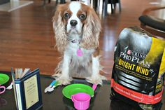 Senior Dogs Need Specialized Nutrition #BrightMind - Two Little Cavaliers #sponsored