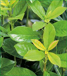 Kirschlorbeer - G-Artenreich Plant Leaves, Plants, Cherries, Plant, Planets