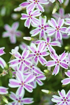 Long-blooming perennials - creeping phlox
