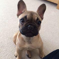 Cece, the French Bulldog Puppy ❤️