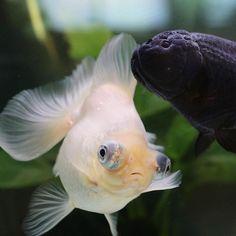 11 Best Ryukin, Oranda & Ranchu images in 2015 | Goldfish