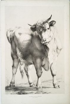 [Bull.] From New York Public Library Digital Collections.