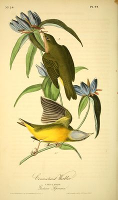 John J Audubon (1841) - The birds of America : - Biodiversity Heritage Library