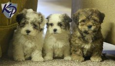 Keystone Puppies has a puppy finder feature setting you up to find and buy a dog perfect for your home. Havanese Puppies For Sale, Havanese Dogs, Dogs And Puppies, Puppy Finder, Buy A Dog, Little Dogs, Cute Animals, Pets, Funny