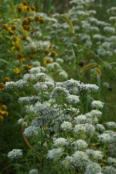 Pycnanthemum flexuosum | Flickr – Condivisione di foto!