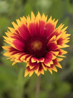 Staudenfoto zu Gaillardia x grandiflora 'Fackelschein' (Garten-Kokardenblume) Shops, Plants, Pictures, Garten, Culture, Flowers, Tents, Retail, Flora