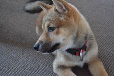 #dog #puppy #shiba #sesame