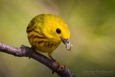 Yellow Warbler, Strathcona County, Alberta