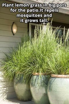Plant lemon grass in big pots for the patio. It repels mosquitoes and it grows tall. Plant lemon grass in big pots for the patio. It repels mosquitoes and it grows tall. Diy Garden, Dream Garden, Lawn And Garden, Garden Plants, Backyard Plants, Backyard Patio, Plants On Deck, Outdoor Plants, Potted Plants Patio