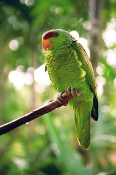 Animals Birds Parrots Lilac-crowned amazon