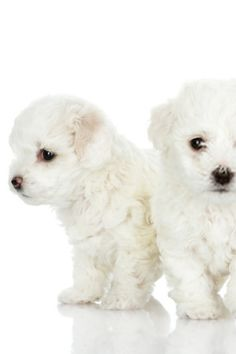 Maltese is one of several oldest plus most lovable of the toy dog breeds. Brilliant, soft, and cuddly, it's no wonder why Maltese dog puppies are getting more and more popular as pets. Maltese Puppies For Sale, Maltese Dogs, Cute Puppies, Dogs And Puppies, Pet Dogs, Dog Cat, Pets, Doggies, Dog Photos