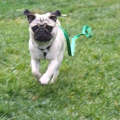 The running of the pug!
