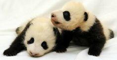 #lively#pandas