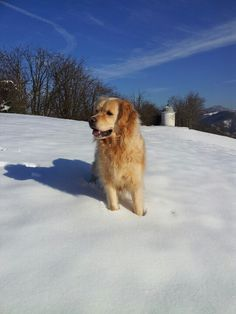 Snow golden