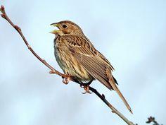Migratory Birds, Bunting, Birds Photos, Life List, Bap, Britain, Action, English, Animals