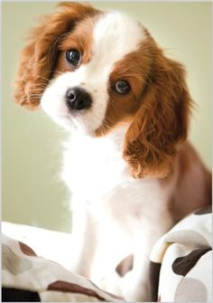 Paw Prints, King Charles Puppy card 3534, from www.abacuscards.co.uk