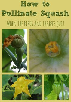 How to Pollinate Squash by Hand. Sometimes the Birds and bees don't do their job and it's up to you to pollinate. Here's how to do it by hand!