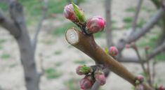Ekkor kell elvégezni az őszibarack metszését Gardening, Lawn And Garden, Horticulture