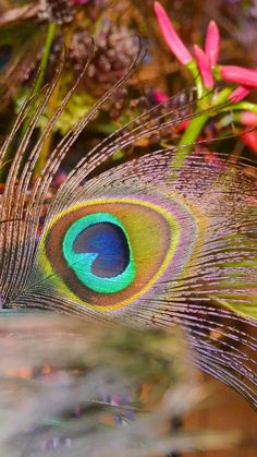 Free Image on Pixabay - Peacock, Peacock Feather, Flowers Peacock Wallpaper, Love Wallpaper, Summer Wallpaper, Feather Art, Peacock Feathers, Happy Diwali Wishes Images, Photo Art Gallery, Peacock Images, Feather Photography