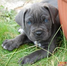want this cane corso puppy Cute Puppies, Cute Dogs, Dogs And Puppies, Doggies, Chien Cane Corso, Blue Pitbull, Baby Animals, Cute Animals, Blue Eyed Baby