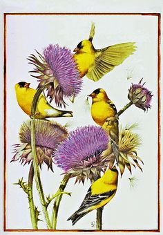 Goldfinch on Thistle ~ Marjolein Bastin Nature Sketches Art Et Nature, Nature Artists, Illustration Botanique, Art Et Illustration, Marjolein Bastin, Nature Sketch, Dutch Artists, Watercolor Bird, Watercolor Landscape