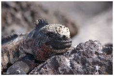 Galapagos, Zeeleguaan