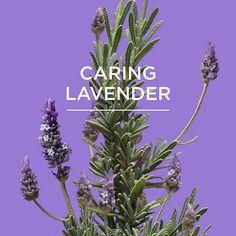 sensitive skin? #comingsoon #lavender #greekherbs #apivitaexperience