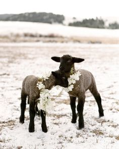 Laurie Arons 2016 Wedding Planner Masterclass Part II Farm Animals, Animals And Pets, Cute Animals, Winter Mountain Wedding, Christmas Wedding Flowers, Sheep Art, Rock Creek, Sheep And Lamb, Herding Dogs