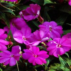 sunpatiens plants   SunPatiens Compact Lilac Impatiens Plant