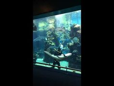 This Aquarium Diver Gives His Favorite Shark A Belly Rub While Cleaning The Tank.