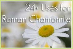 Uses for Roman Chamomile Essential Oil - Sustainable Baby Steps Yl Oils, Doterra Oils, Doterra Essential Oils, Natural Essential Oils, German Chamomile Essential Oil, Chamomile Oil, Roman Chamomile, Young Living Oils, Young Living Essential Oils