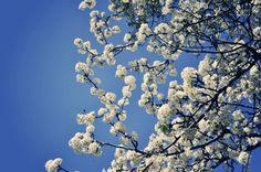 Bradford Pear -- Spring has sprung