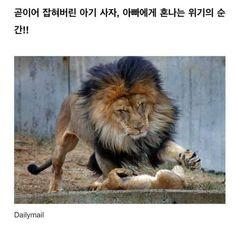 Lion, Humor, Memes, Disney, Funny, Cute, Anime, Leo, Humour