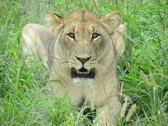 Lions return to iSimangaliso in memory of Mandela - Africa Geographic Magazine Blog