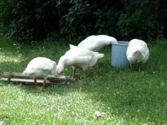 Homesteading (4): Raising chickens guinea fowl and geese
