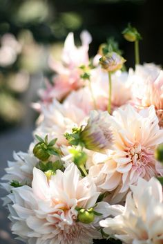 Cafe au lait dahlias from Floret Flower Farm