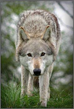 Wolf in Gras